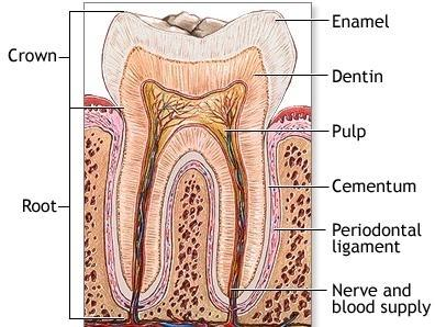 Anatomy of a tooth, Sensitive teeth