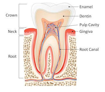 Anatomy of a tooth structure